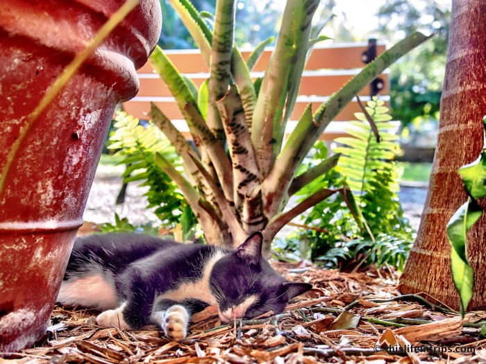 The 6-Toed Cats of The Hemingway House