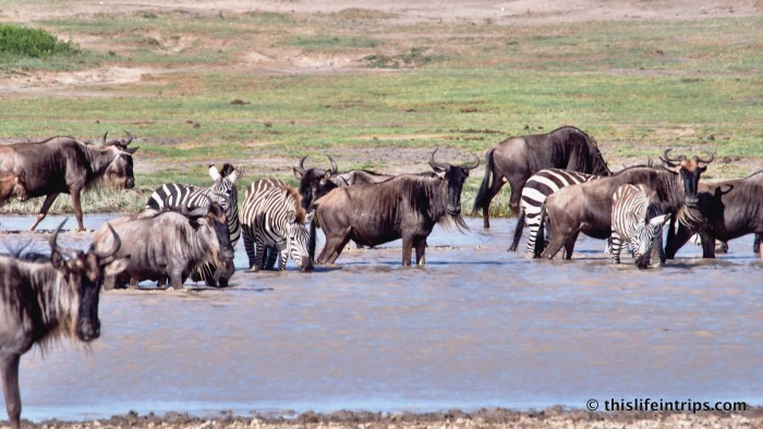 Experiencing The Serengeti Wildebeest Migration...Sort Of.