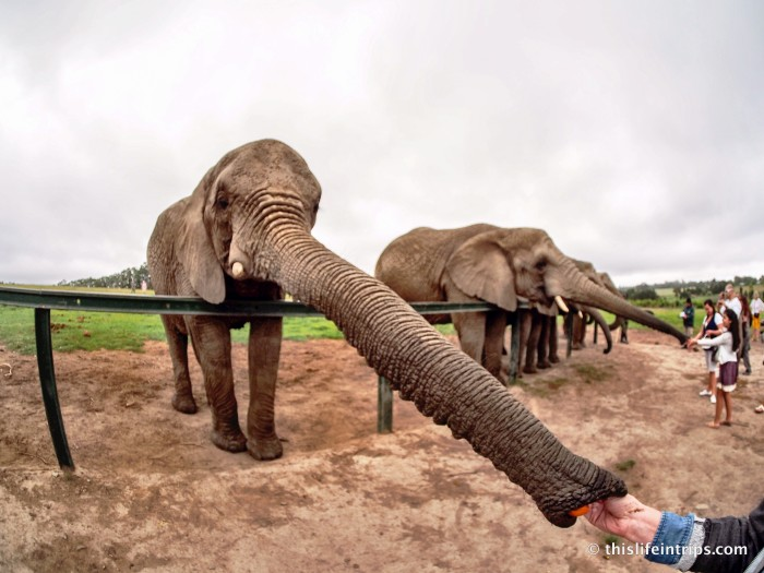 Walking with Elephants in Knysna 3