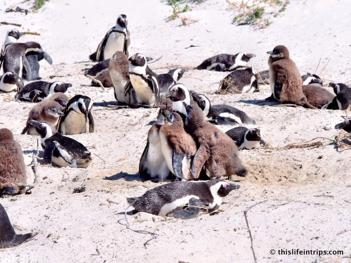 Penguins of Simons Town