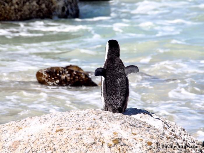 Penguins of Simons Town