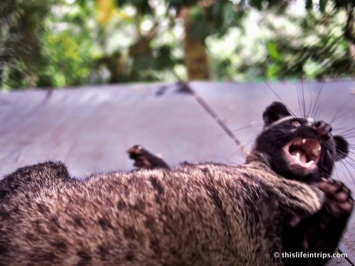 Kopi Luwak in Bali
