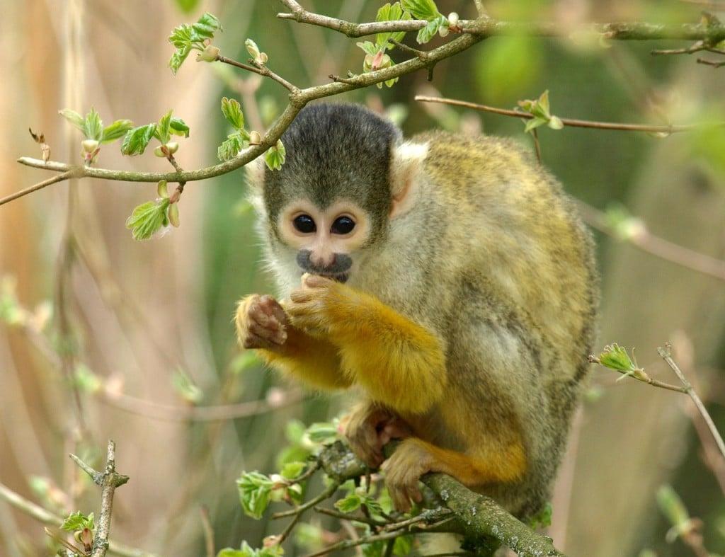 capuchin-327366_1280