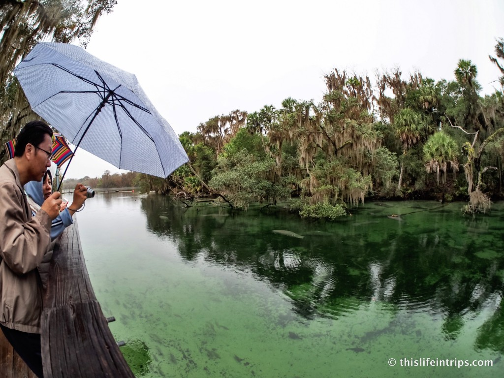 Sea Cow Tipping in Blue Springs State Park Florida