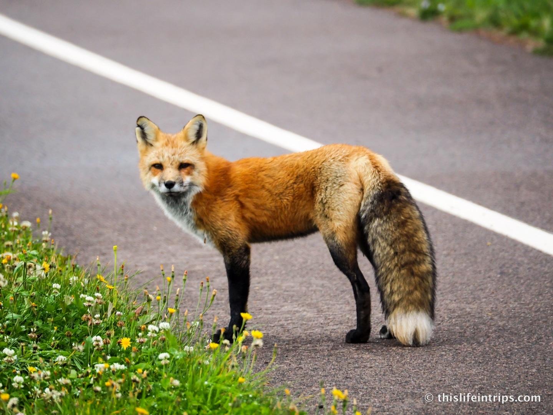 Visiting Prince Edward Island highlights - Red Fox