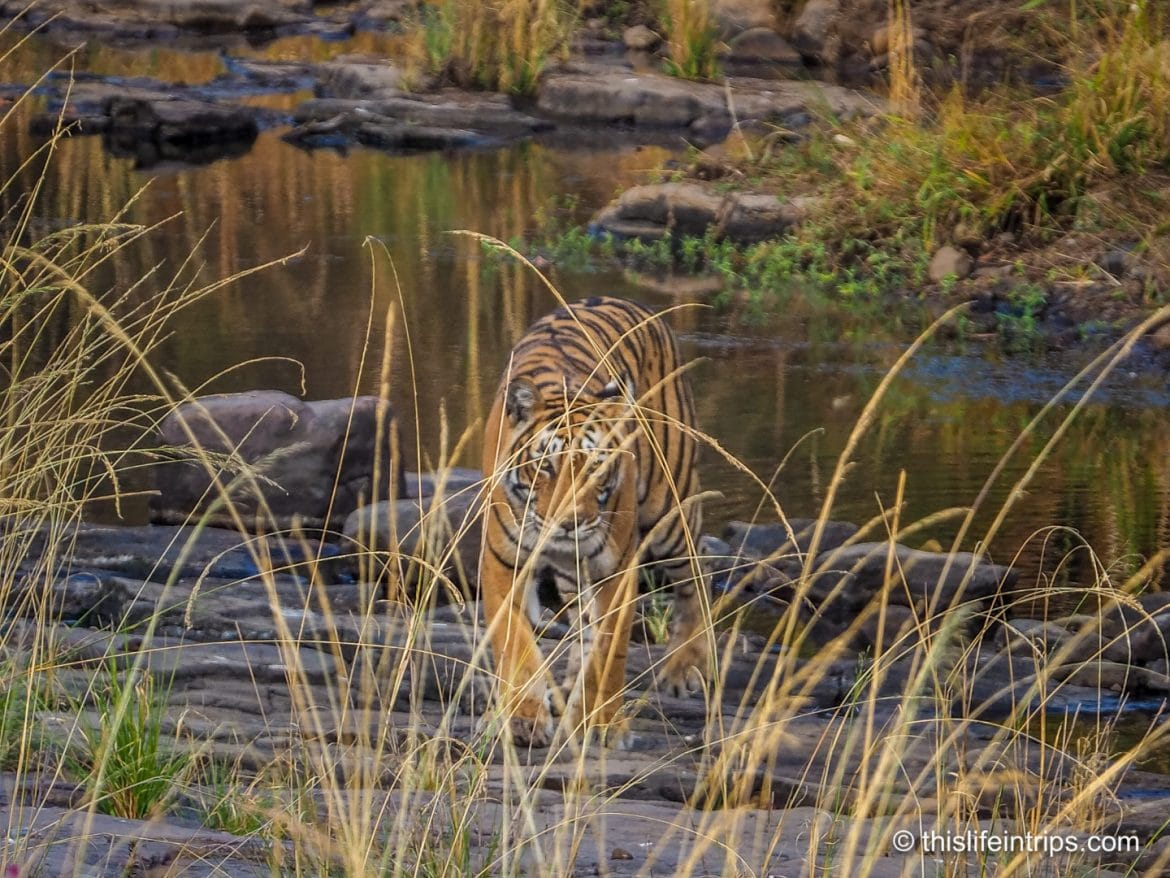 Is a Ranthambore Tiger Safari in India Worth it?